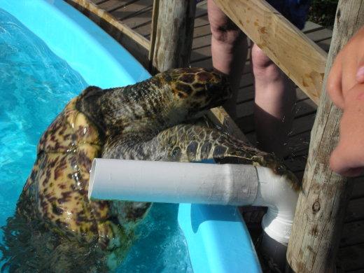 Tortugas gigantes en vivo